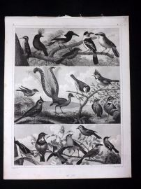Heck 1849 Antique Bird Print. Lyre Bird Australia, Jay, etc